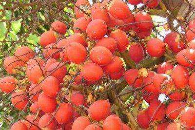 foxtail-palm-tree-logan