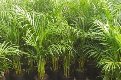 golden-cane-palm-tree-brisbane-southside