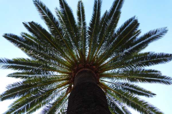 buy palm trees brisbane