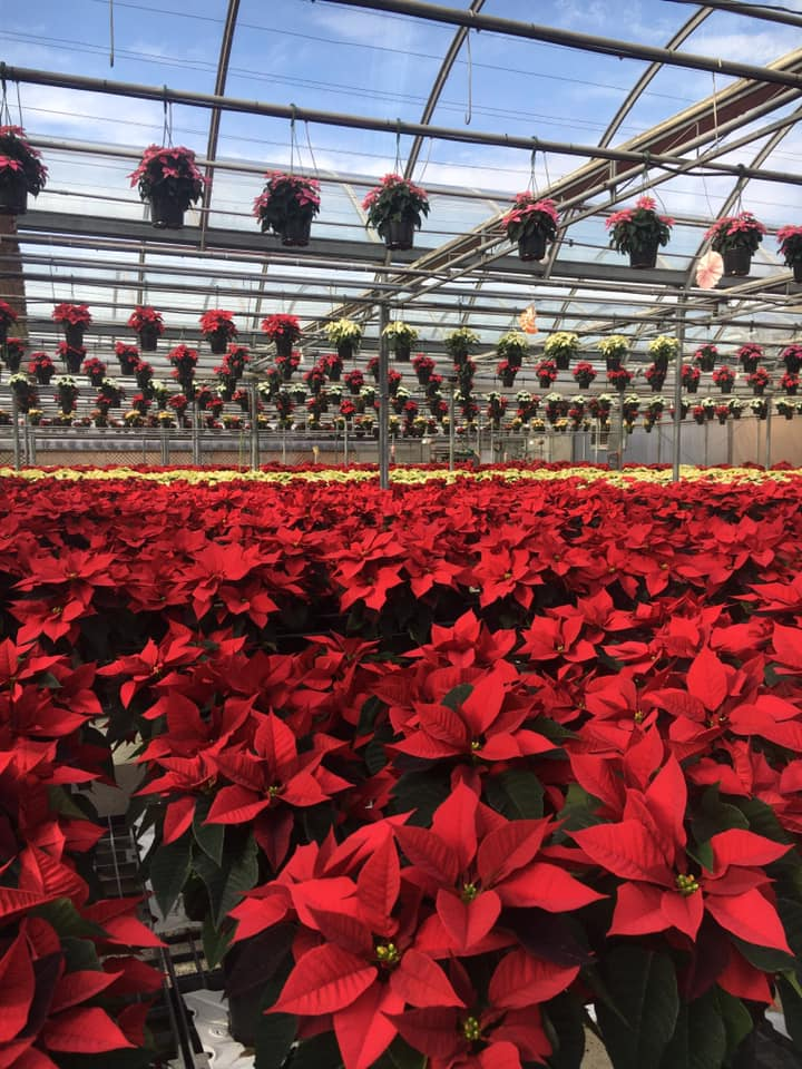 poinsettias in the greenhouse