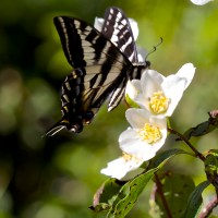 Nectar variations with Swallowtails & friends