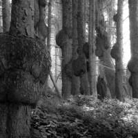 burled sitka spruce ...         .
