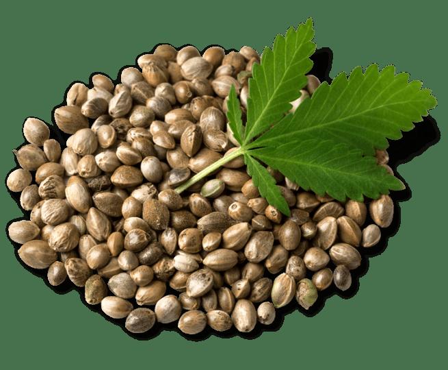 What Is Hemp - Tree of Life Seeds