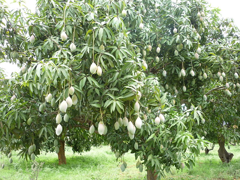 mango-tree-picture.jpg