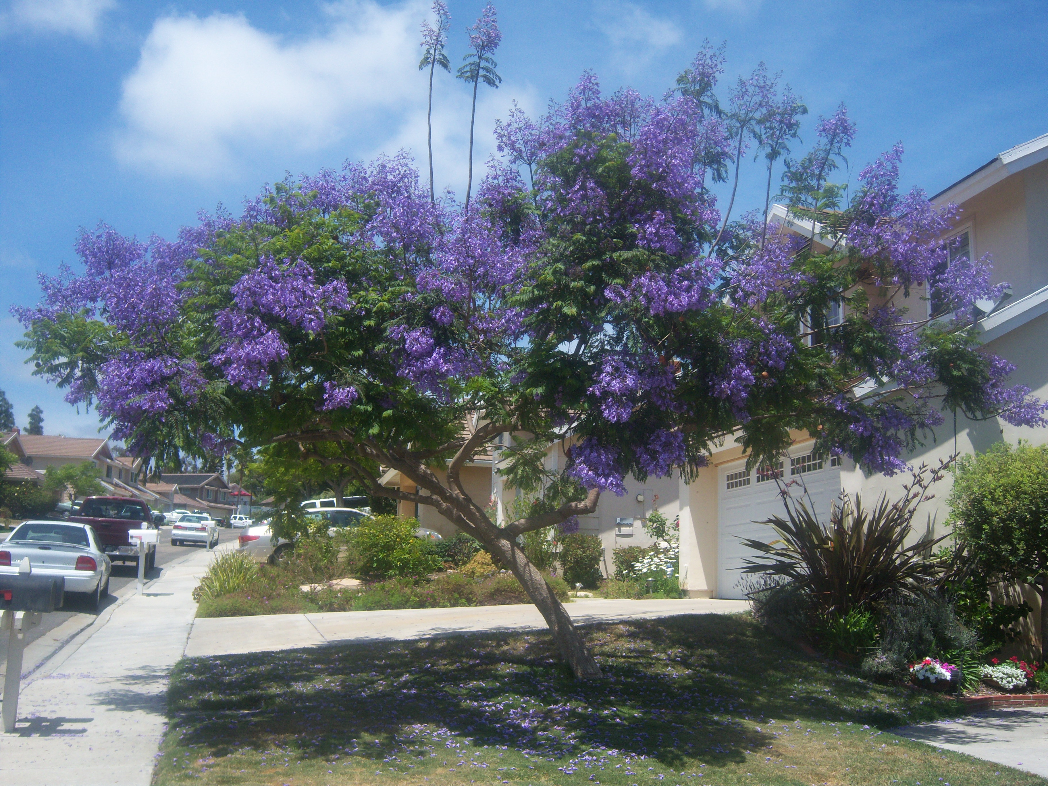 Jacaranda tree next door