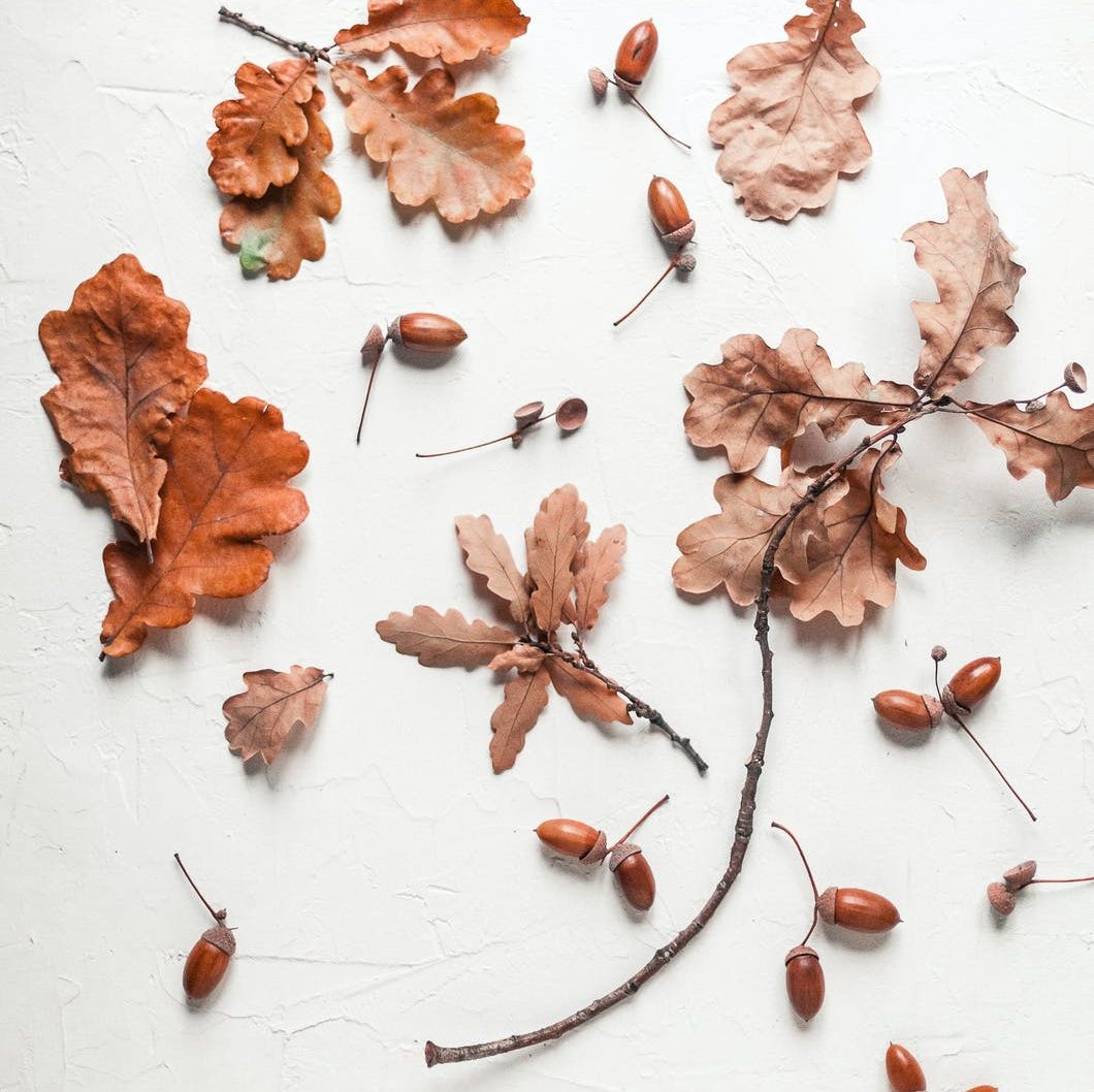 dry oak leaves and acorns on white surface