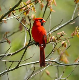 bird red winter animal