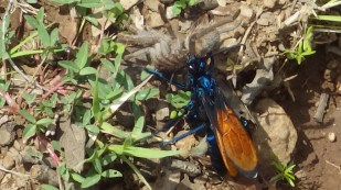 Tarantula hawk wasp dragging its dead prey