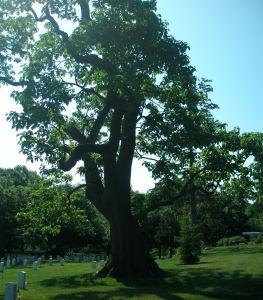 Yellowwood Tree at Arlington Cemetery