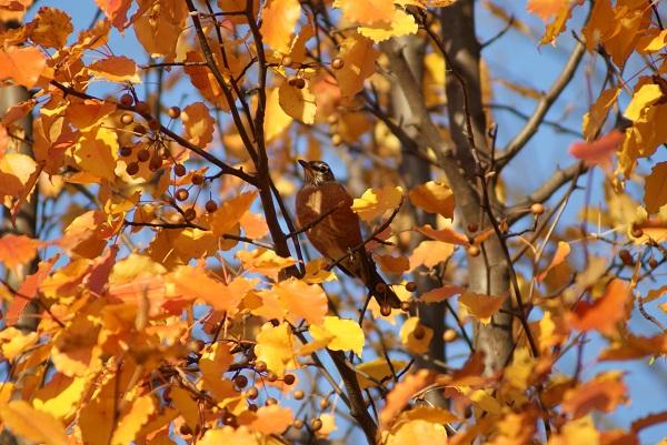 robin in hackberry tree