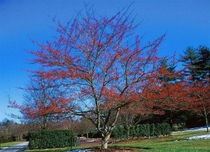 How the Winter King Hawthorn form should look - (Photo courtesy of N. Carolina Extension website)