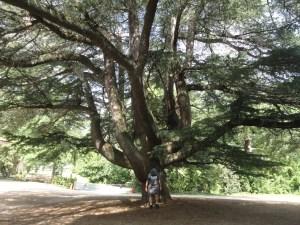 This Deodor cedar (Cedrus deodara) located near the Arlington House dwarfs TreeSteward in it's shade.