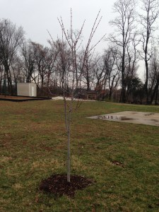The end result is a lovely red maple tree planted in the playground.