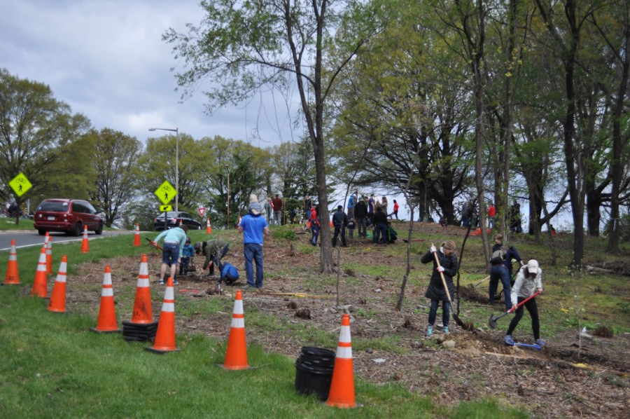 On a hillside surrounded by traffic, safety cones were a necessary precaution. Photo by Tree Steward Bill Anhut.