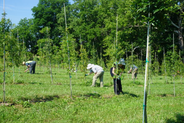 Tree Stewards Jo Allen, Kate Donohue and Don Walsh snipped lower limb s from saplings at the Casey Trees Farm.