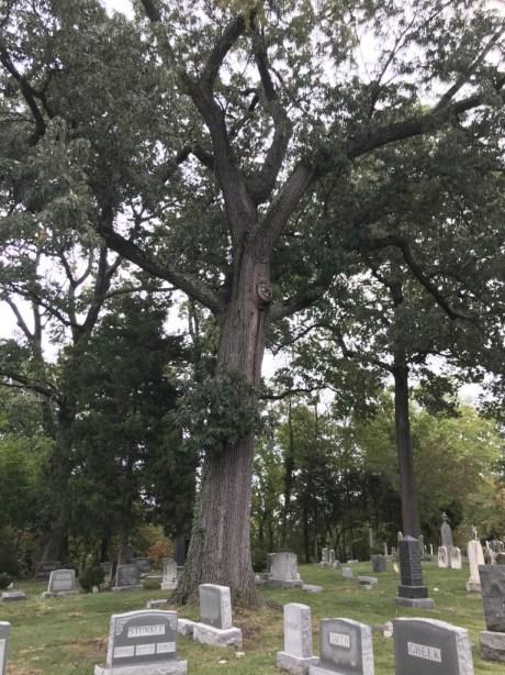 Big oak tree at Ivy Hill Cemetery in Alexandria amid gravestones.