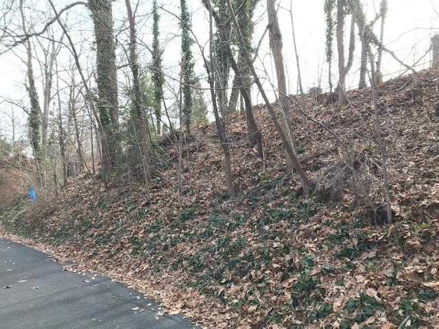 Photo by Mary Farrah. Trees on this ridge at Ivy Hill Cemetery will be able to thrive now that ivy at their base has been removed.