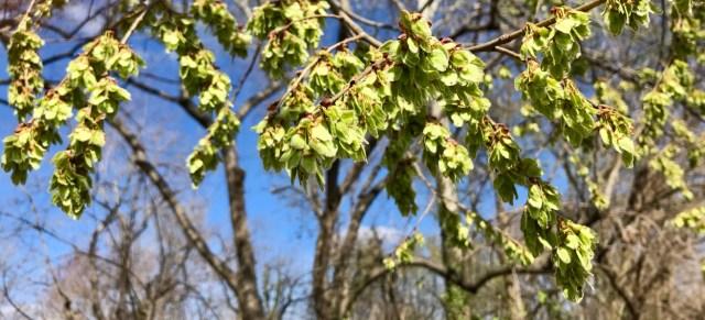 Detail of American elm fruit. Photo by Jo Allen