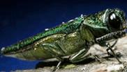 EAB Beetle