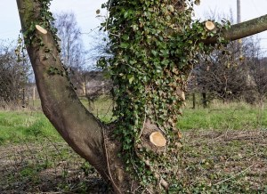 tree after being cut by arborist - Treesurgical
