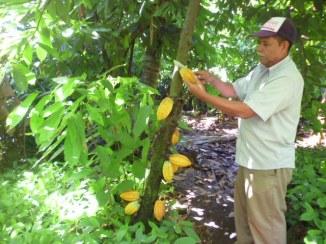 Choosing cacao seeds