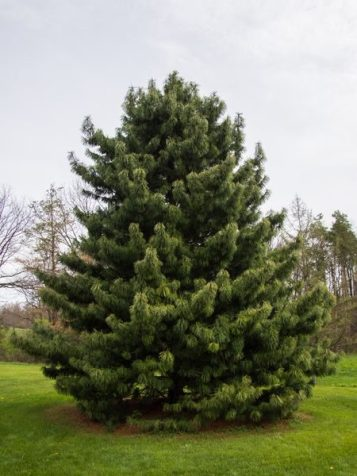 Korean Pine   Attribution: F.D. Richards