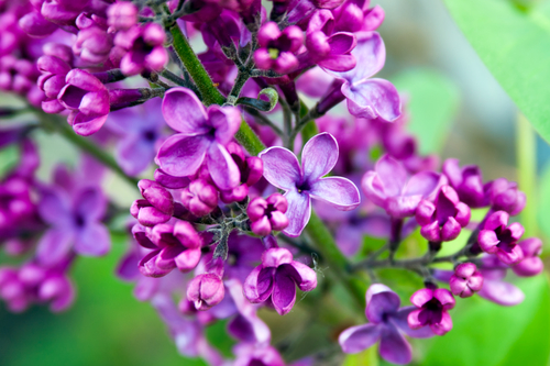 Flowering Lilac tree