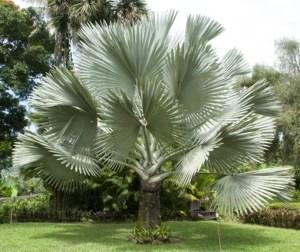 Beautiful Bismark Palm