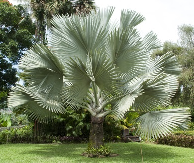 Beautiful Bismark Palm