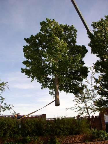 Tree being removed with a crane