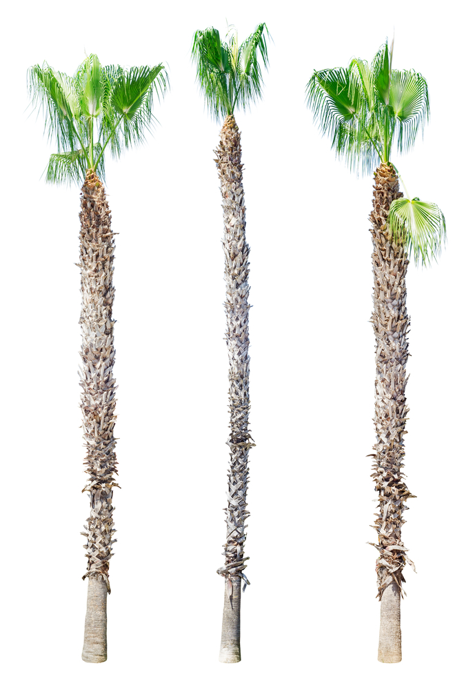Hurricane Cut Palm Trees