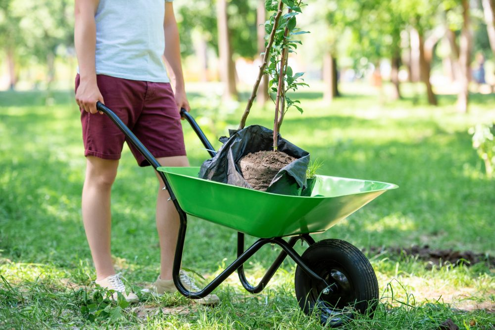Man preparing to plant a new shade tree pushing a wheelbarrow