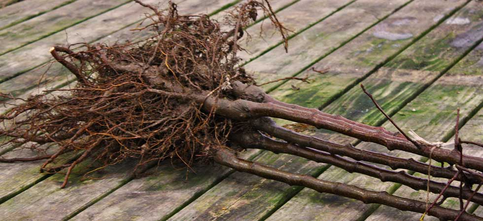4 bare root trees bound together just delivered