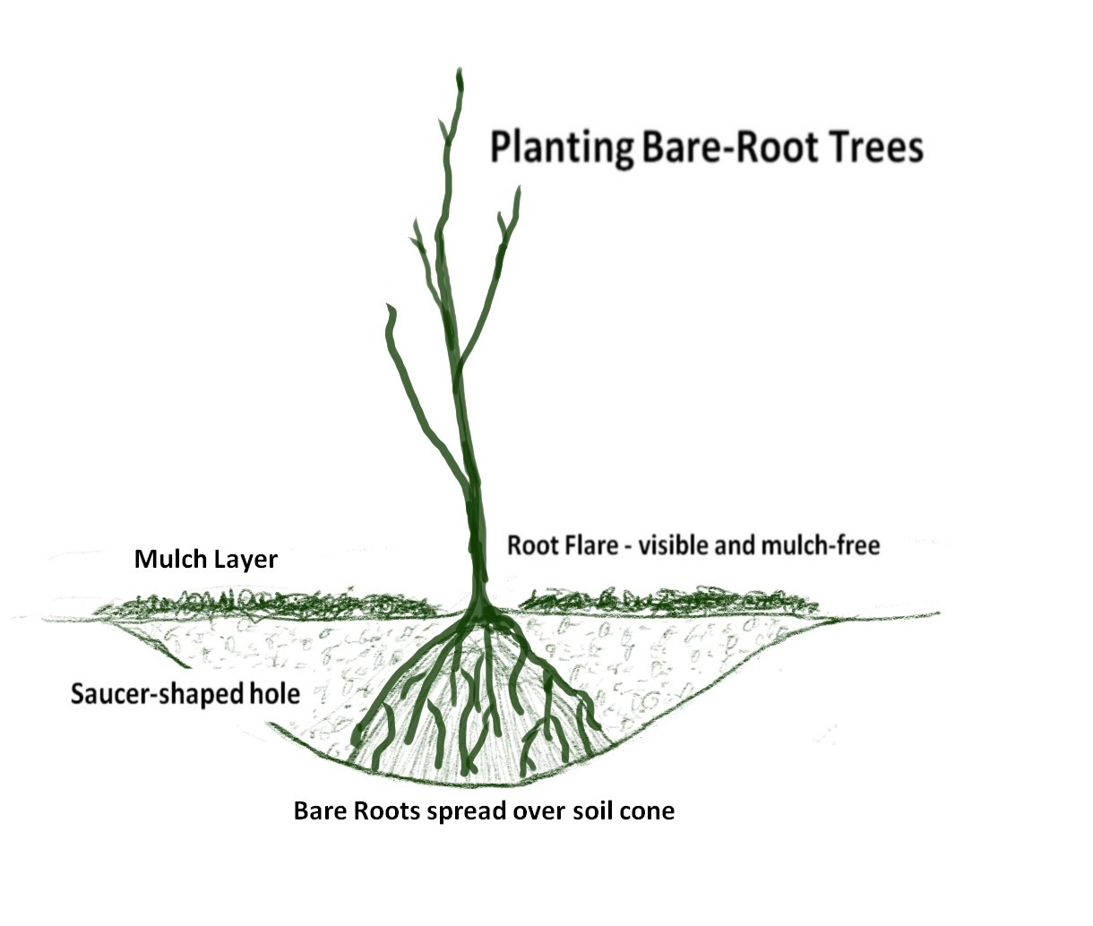 Bare Root Tree Planting Schematic