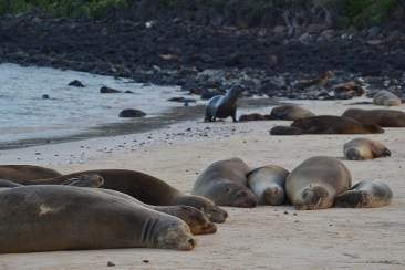 Sealions, sealions...in the sea and on the beaches
