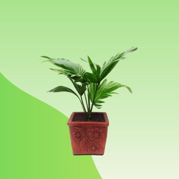 Tall Palm Plant- Treevaly.com