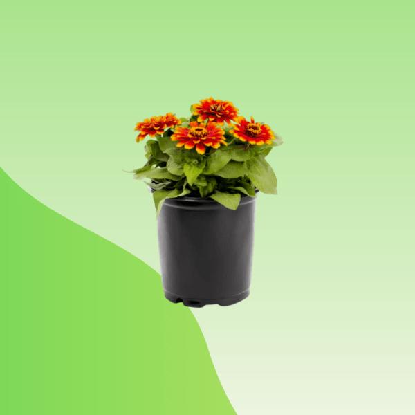 buy zinnia plant bd online