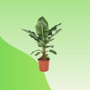 Buy Banana Plant Online