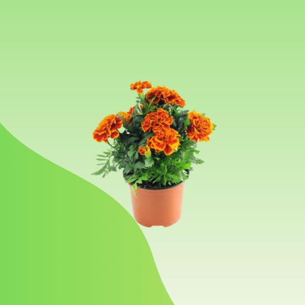 Buy Inka Genda Flower Plant Online