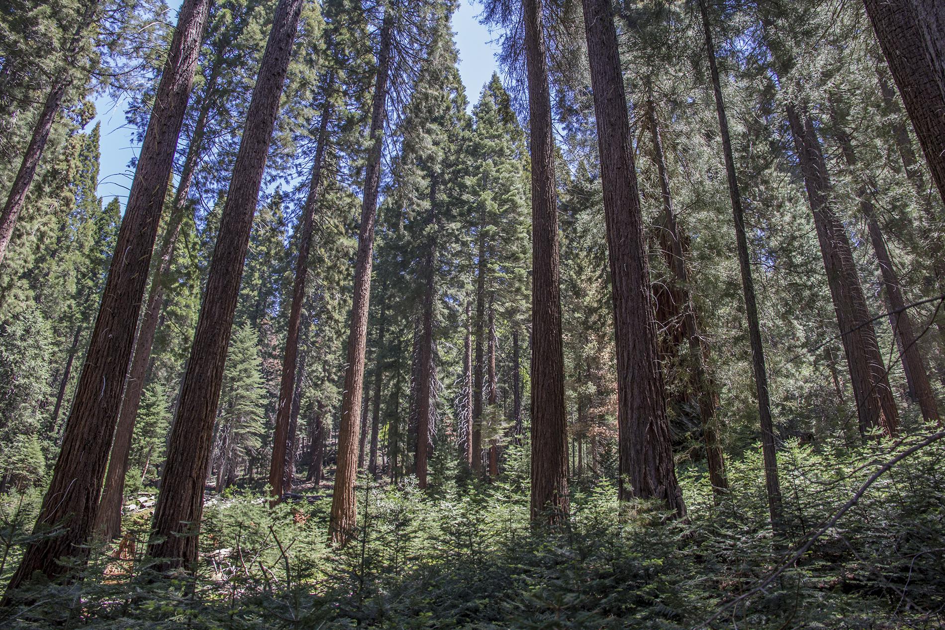 __1 a a redwoods