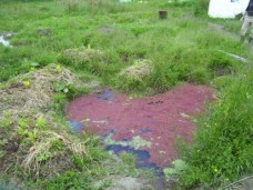 New Zealand Chinampa style development, ditch and mound with ponds with azolla and duckweed