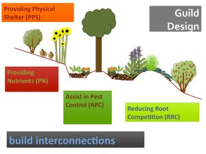 Permaculture guild schematic