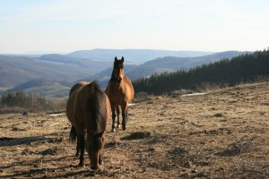 hanna's horses, one of the shapers of the meadow