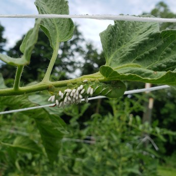 Organic farming, the tomato hornworm infested with wasp larvae cocoons