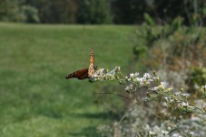 Monarch at the lakeside, a disappearing species