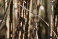 Jerusalem Artichoke stalks erect