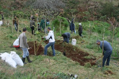 tamarillo Orchard implementation in rows