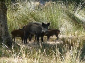 Wild Pig and babies from http://www.travbuddy.com/photos/reviews/165774