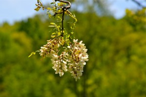 black locust in flower