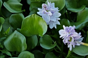 green material, water hyacinth from the aquaculture